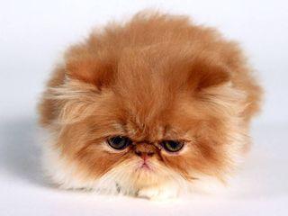 Persian_Kitten